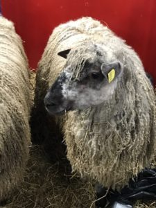 maryland sheep and wool
