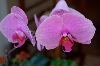 Top 10 ways to kill a houseplant like this phalaenopsis orchid.
